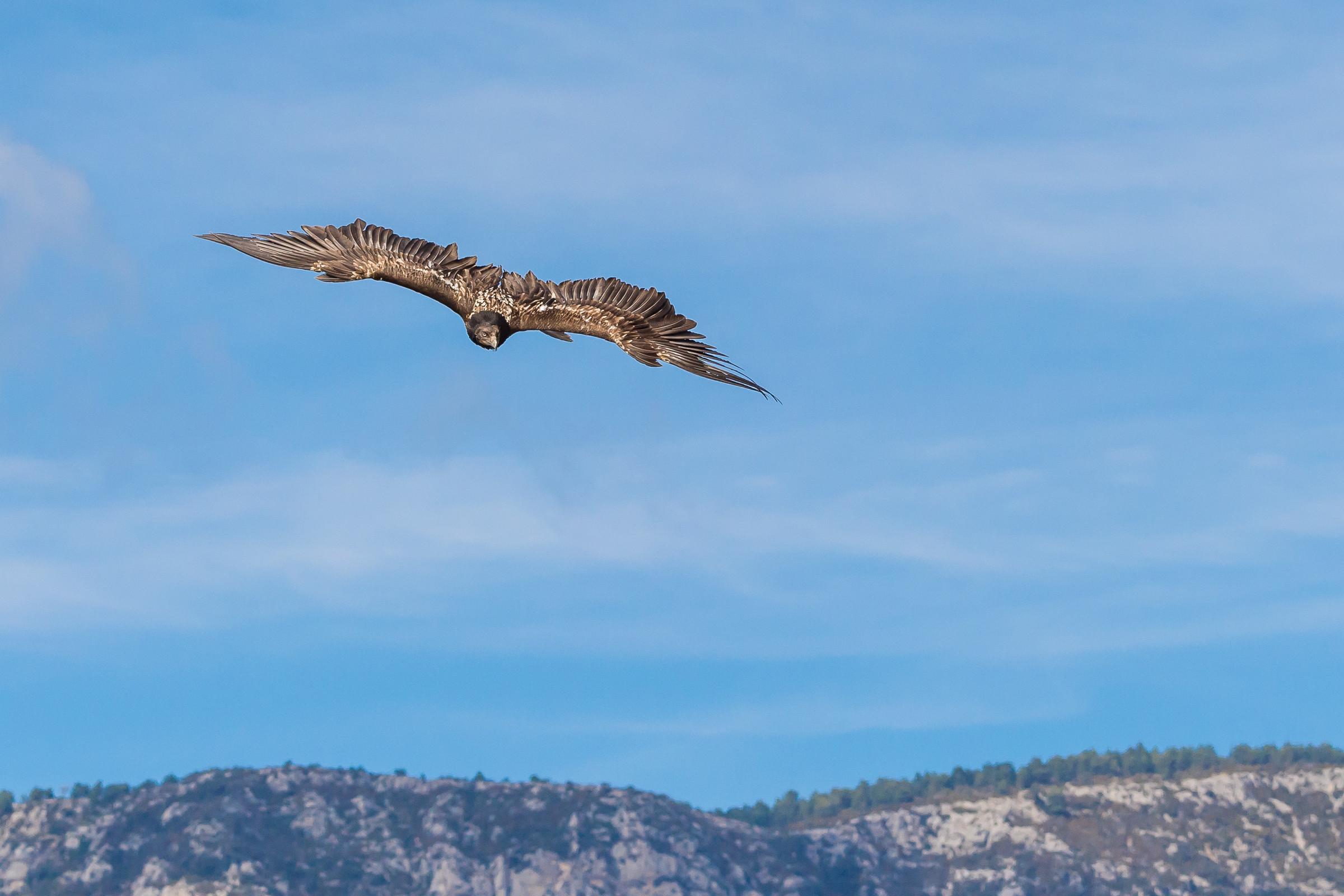 roofvogel gieren 4314