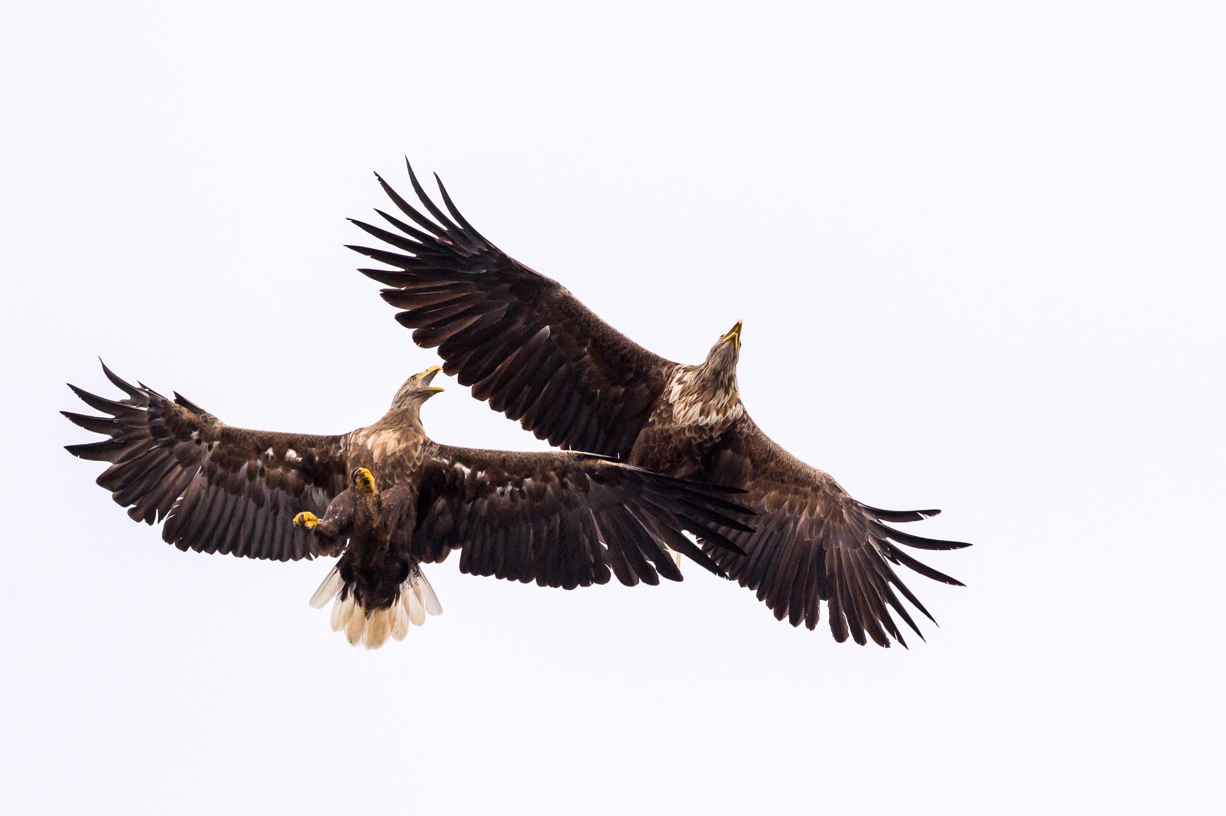 140718Lauvsnes zee arenden14-07-sea eagles-_D4S6449-bewerkt.jpg