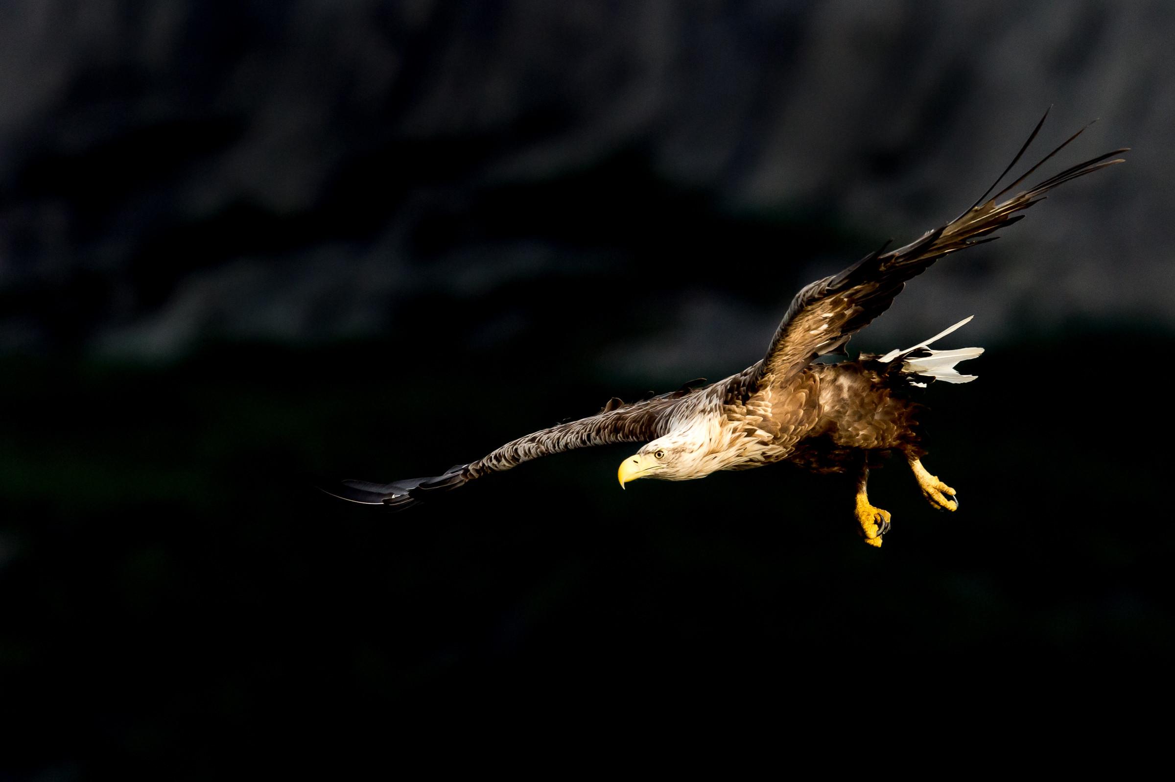 140718Lauvsnes zee arenden14-07-sea eagles-_D4S6639-bewerkt.jpg