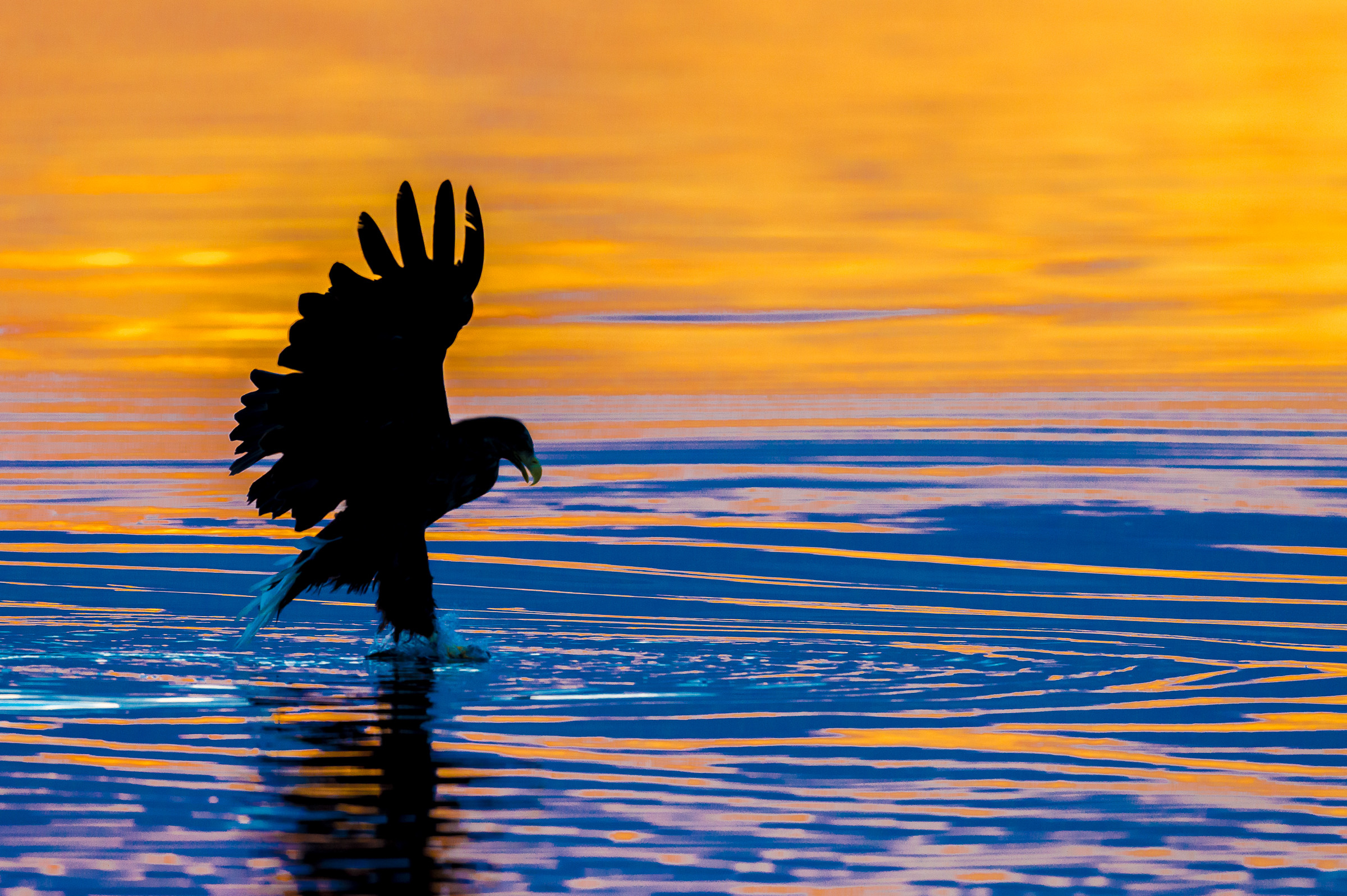 140718Lauvsnes zee arenden14-07-sea eagles-_D4S7210.jpg