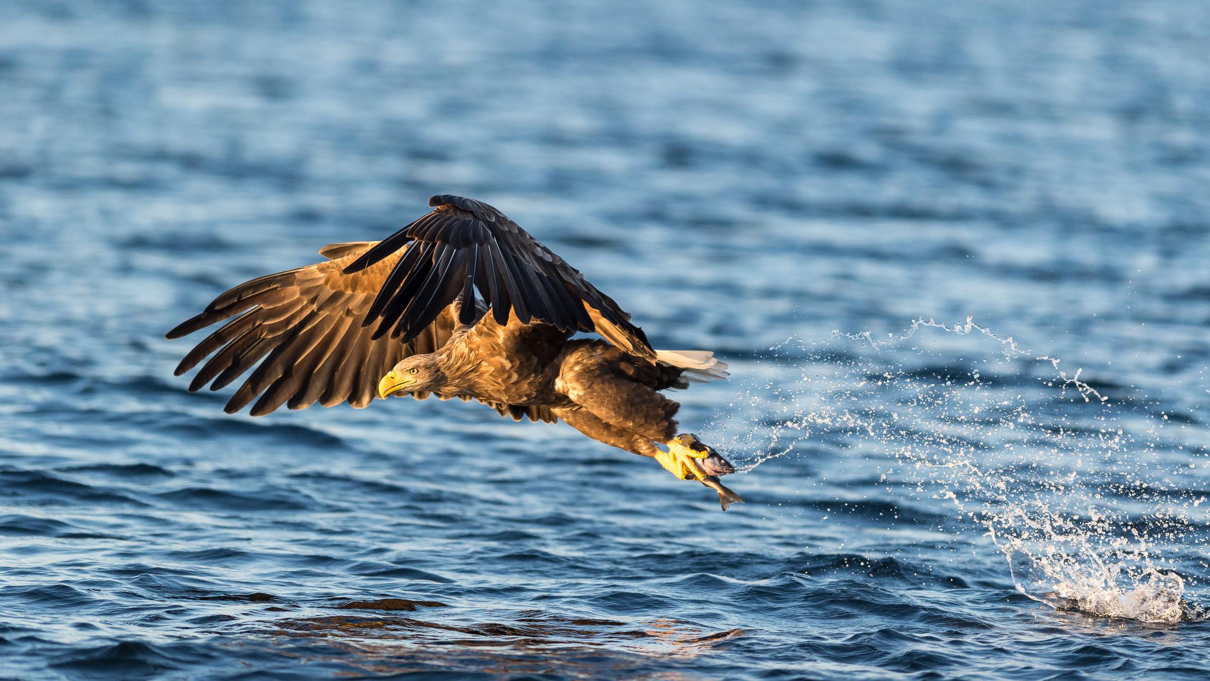 roofvogel zeearend 8806