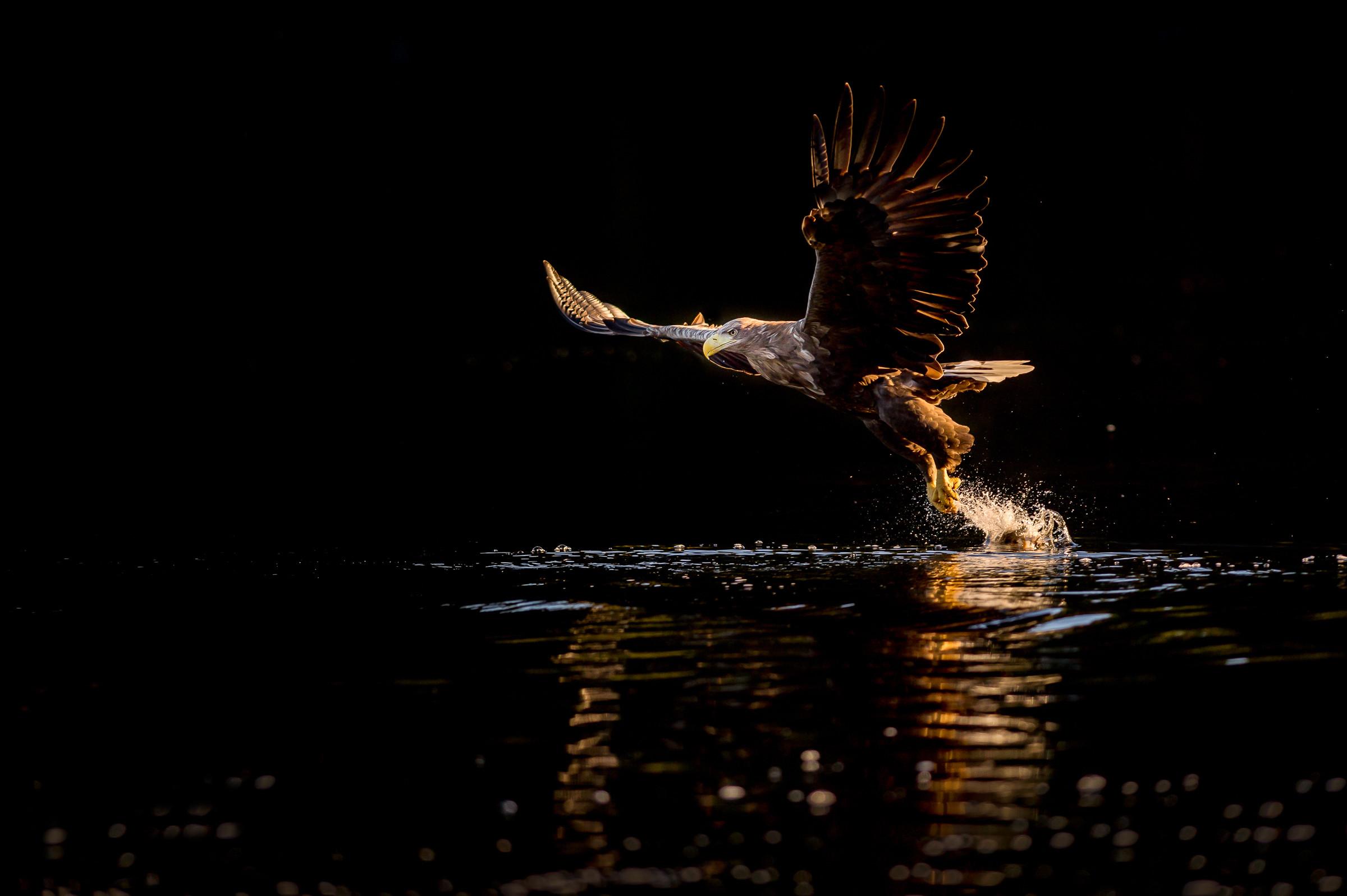 roofvogel zeearend 9507