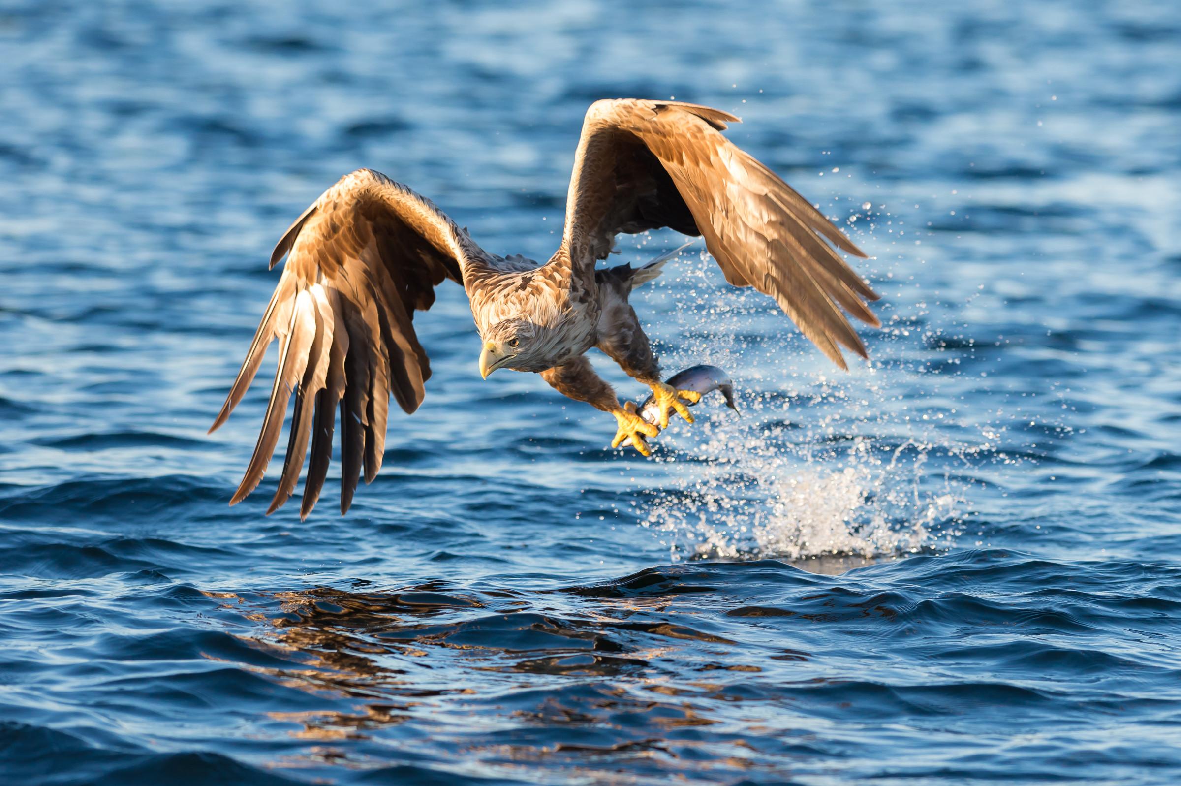 roofvogel zeearend 2795