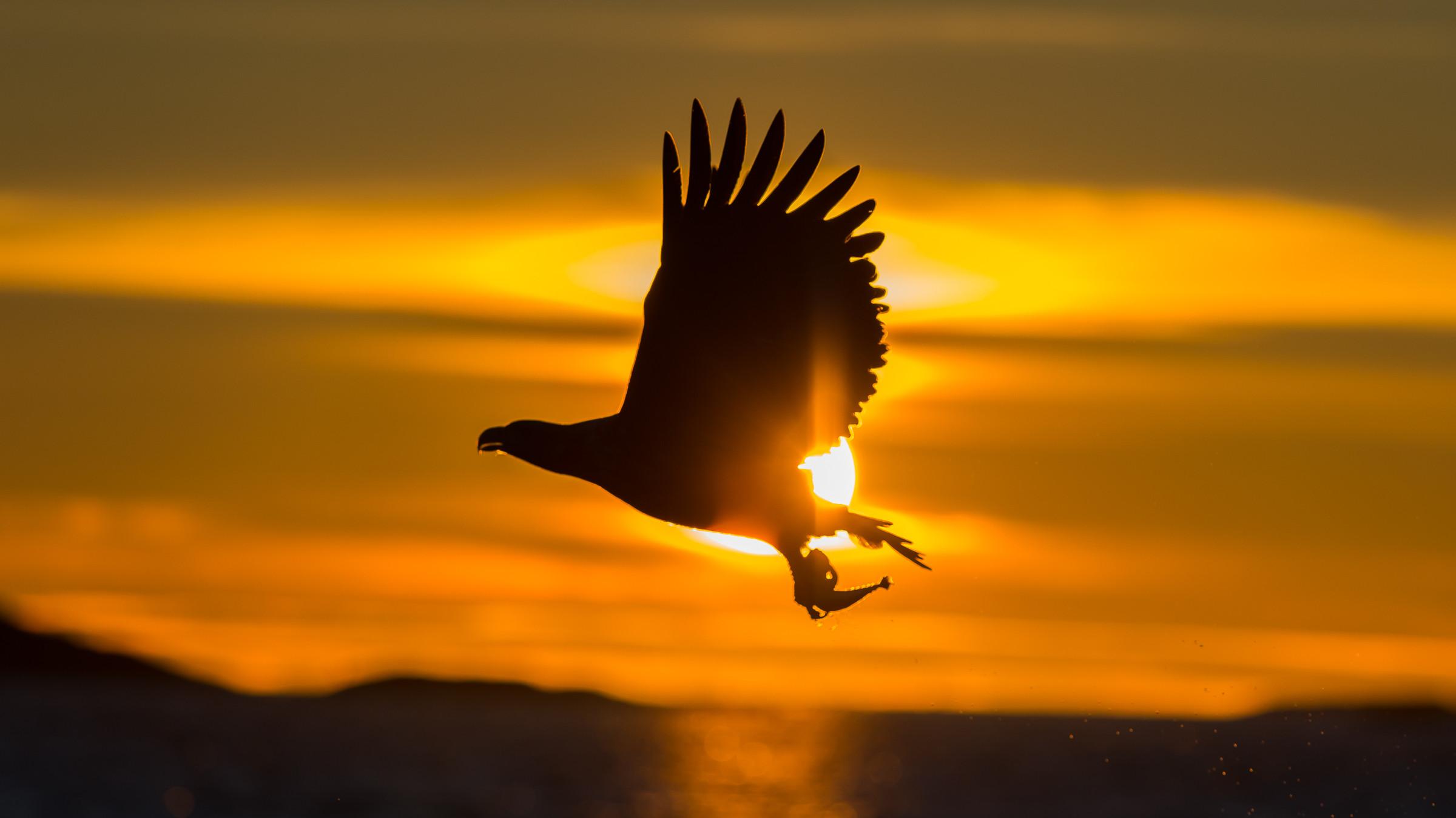 roofvogel zeearend 6513