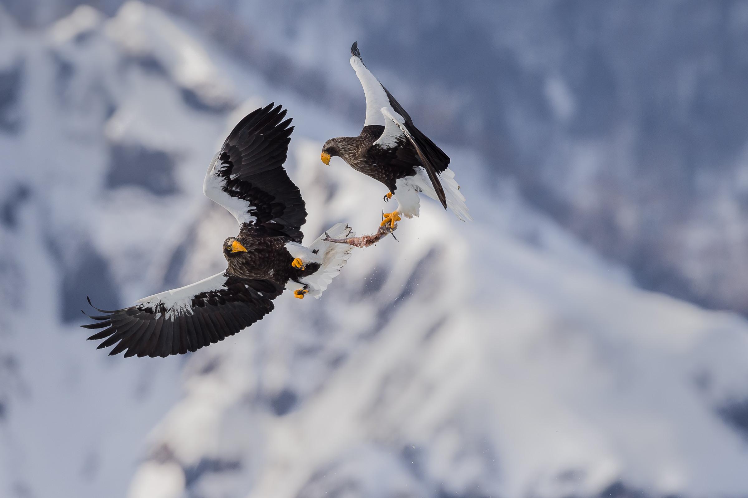 roofvogel stellers zeearend 3446