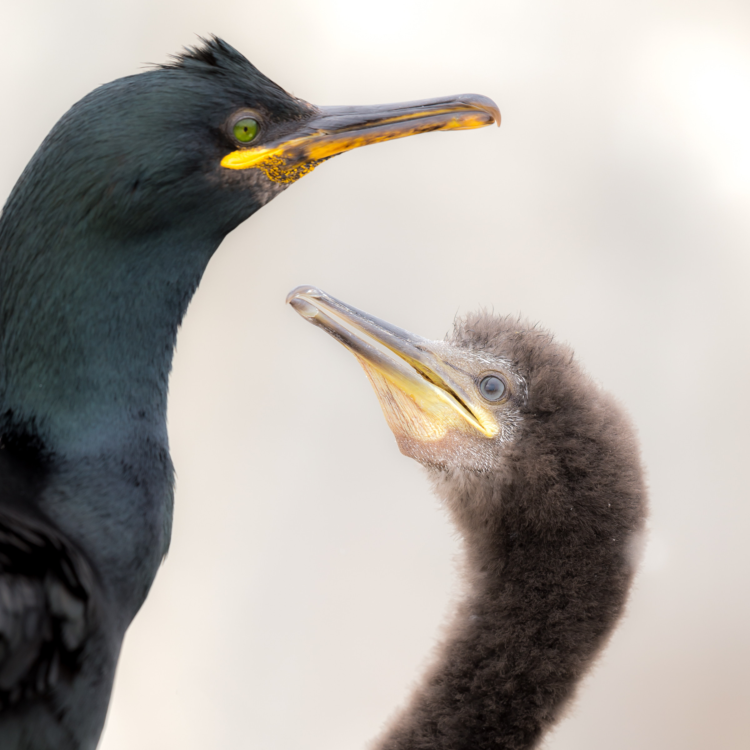 vogels BDZ aalscholver 1601