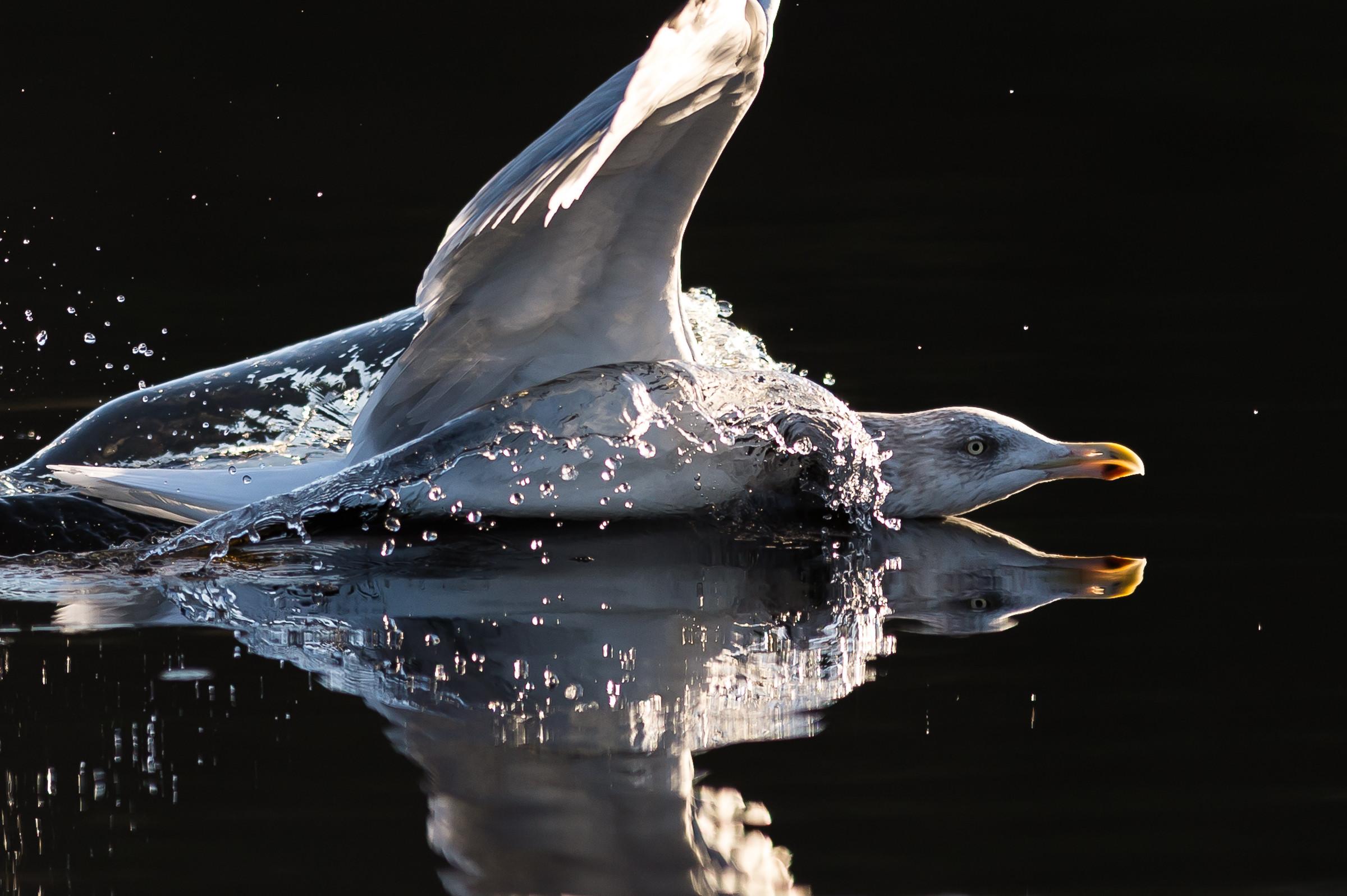 vogels BDZ meeuw 9639