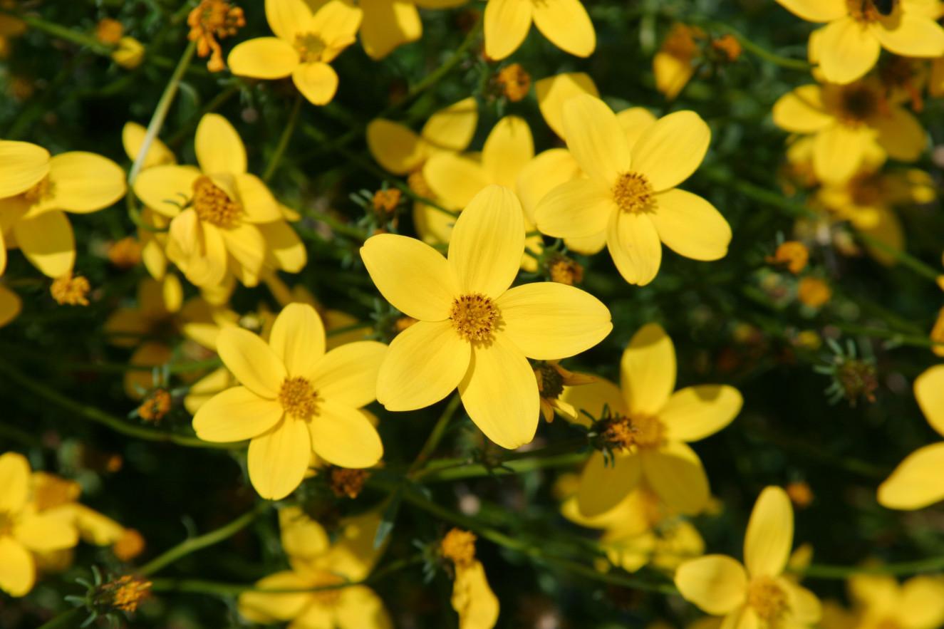 Bidens ferulifolia Golden Star ®