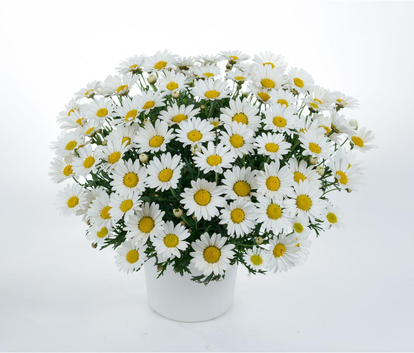 Argyranthemum frutescens Everest (goed).jpg