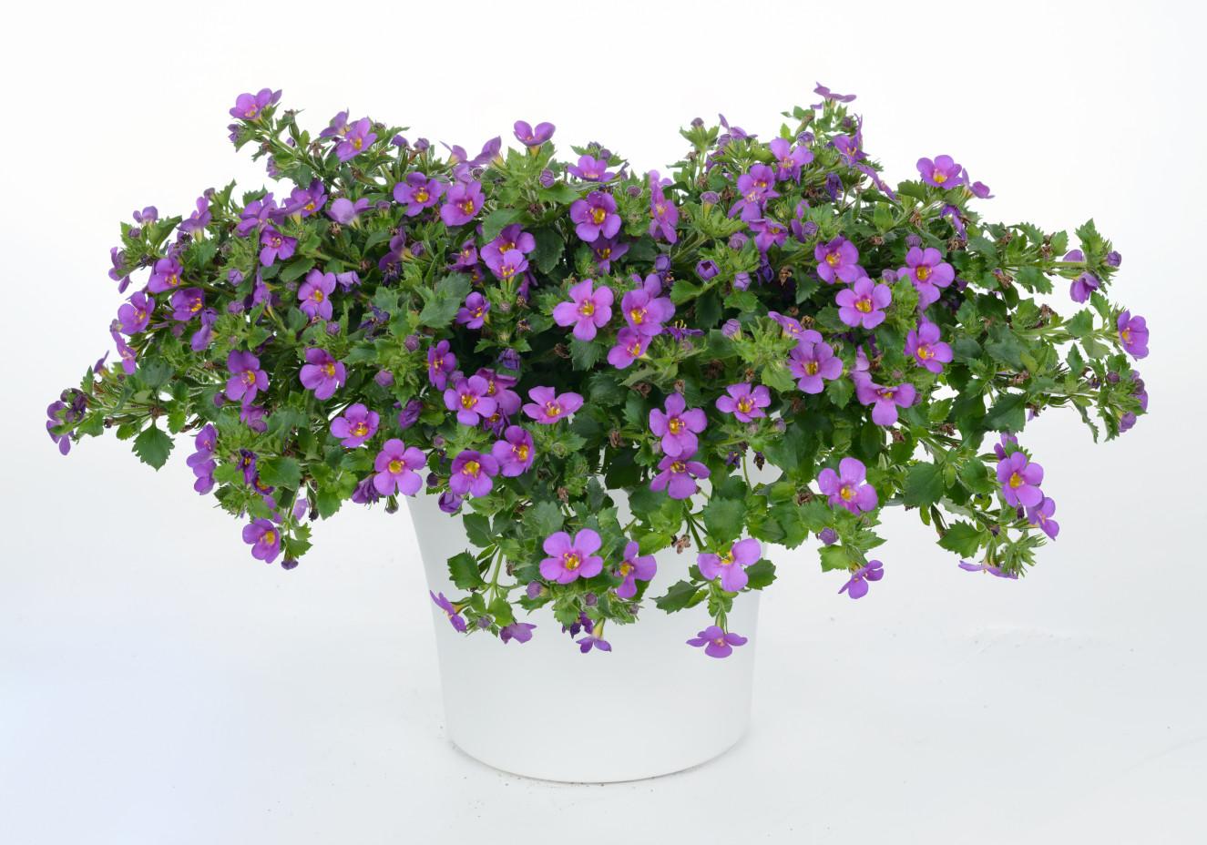 Bacopa Scopia Great Violet Glow-BA-14-2983-693-Edit