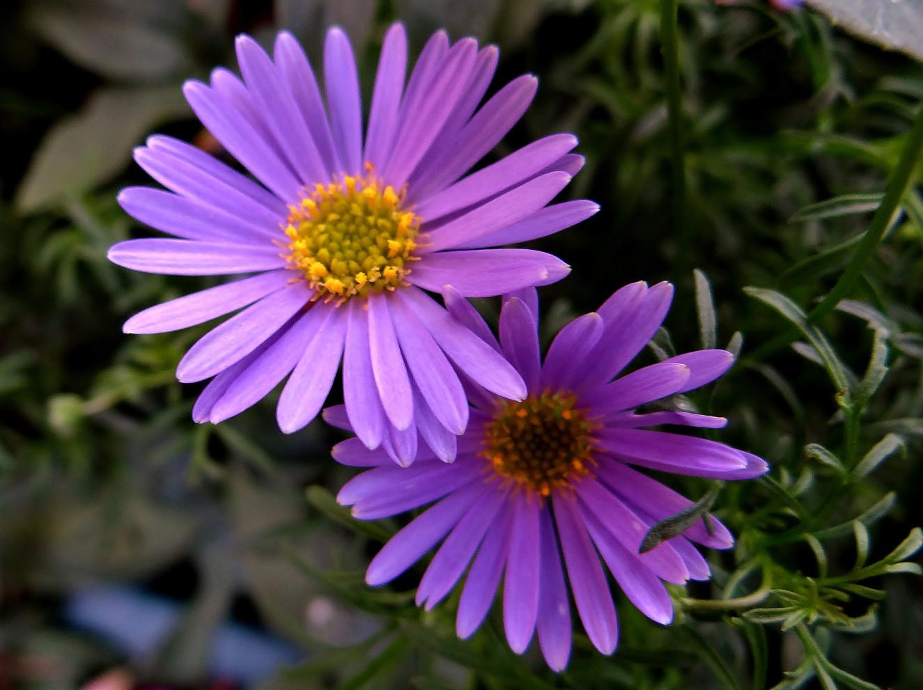 Brachyscome_Brasco_violet.jpg