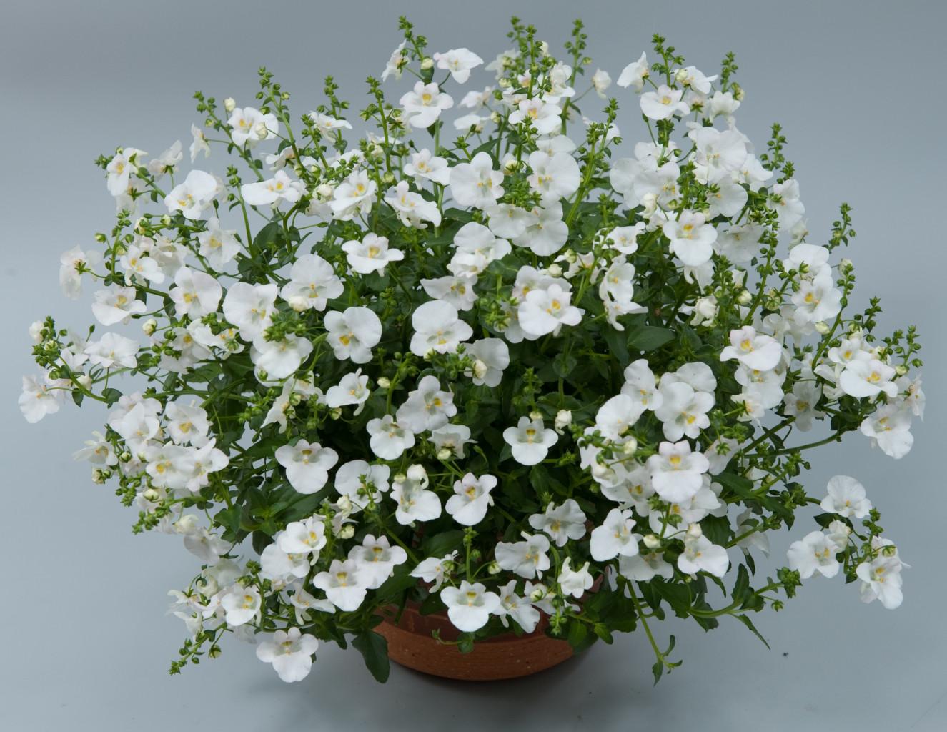 Diascia Genta Classic White