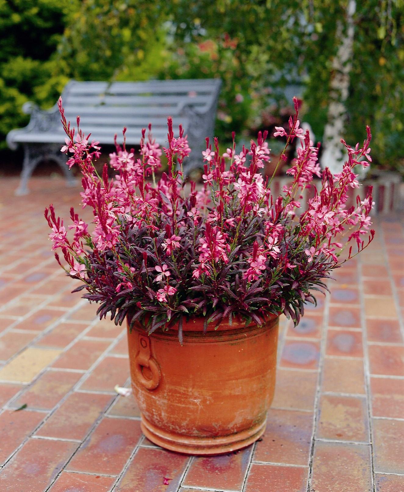 Gaura lindheimeri Crimson Butterfly2.jpg