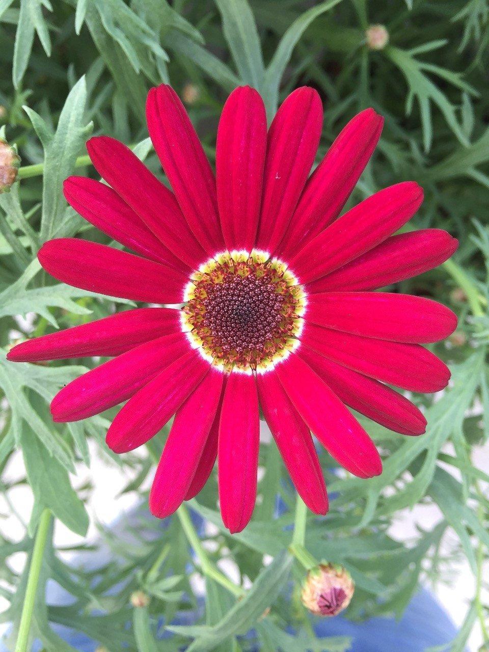 Grandaisy-Deep-Red (1)