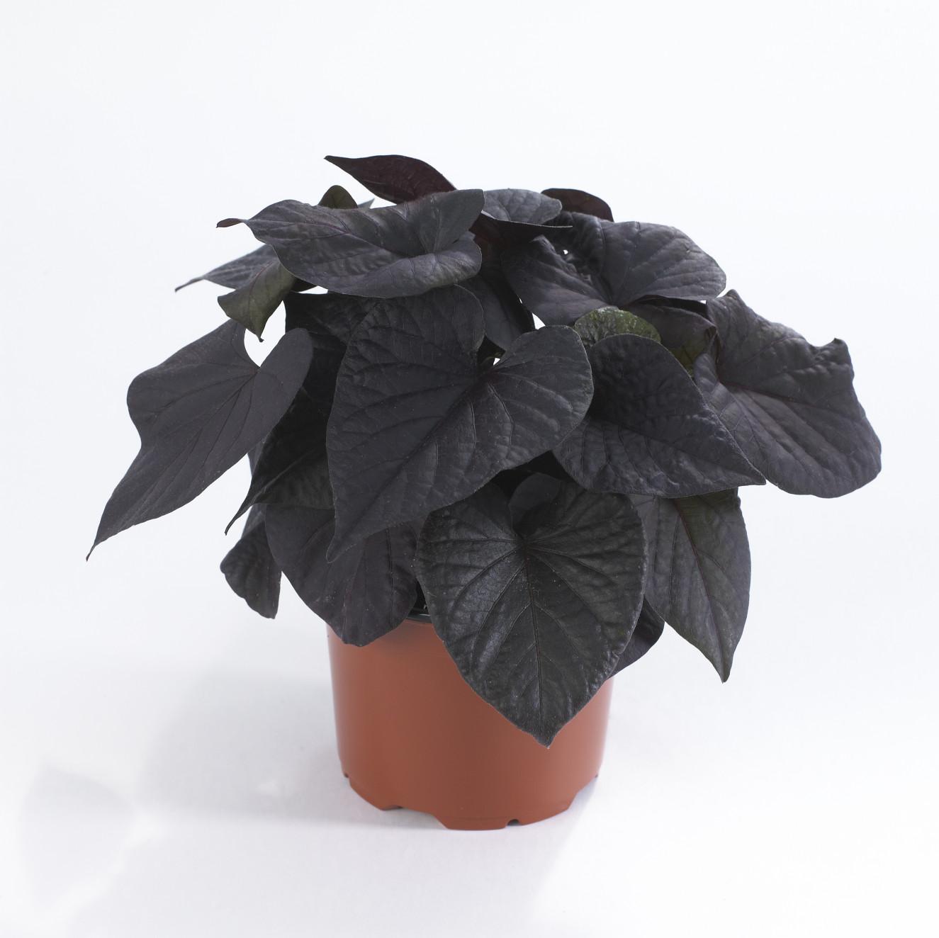 Ipomoea black