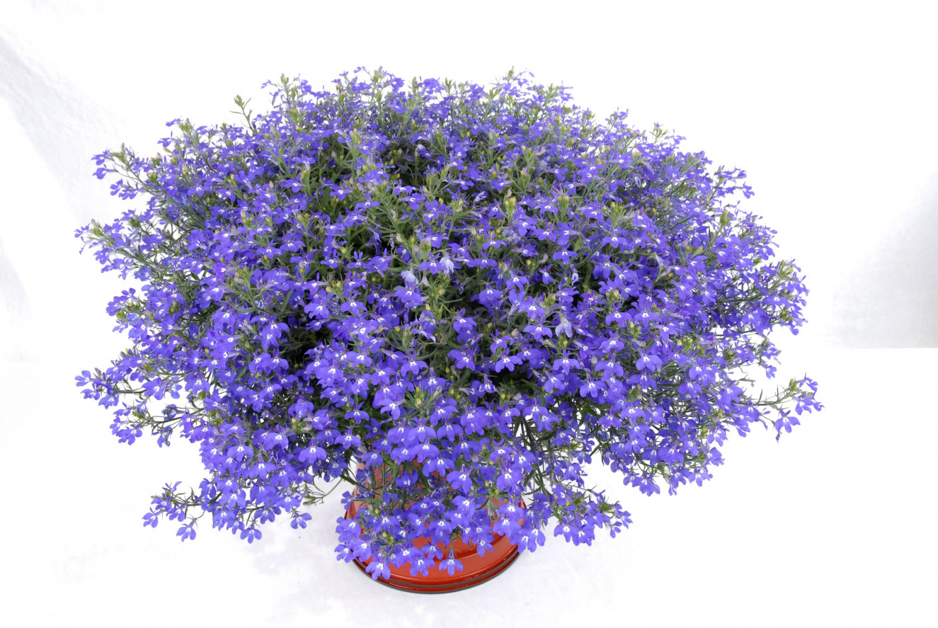 Lobelia HOT blue 1