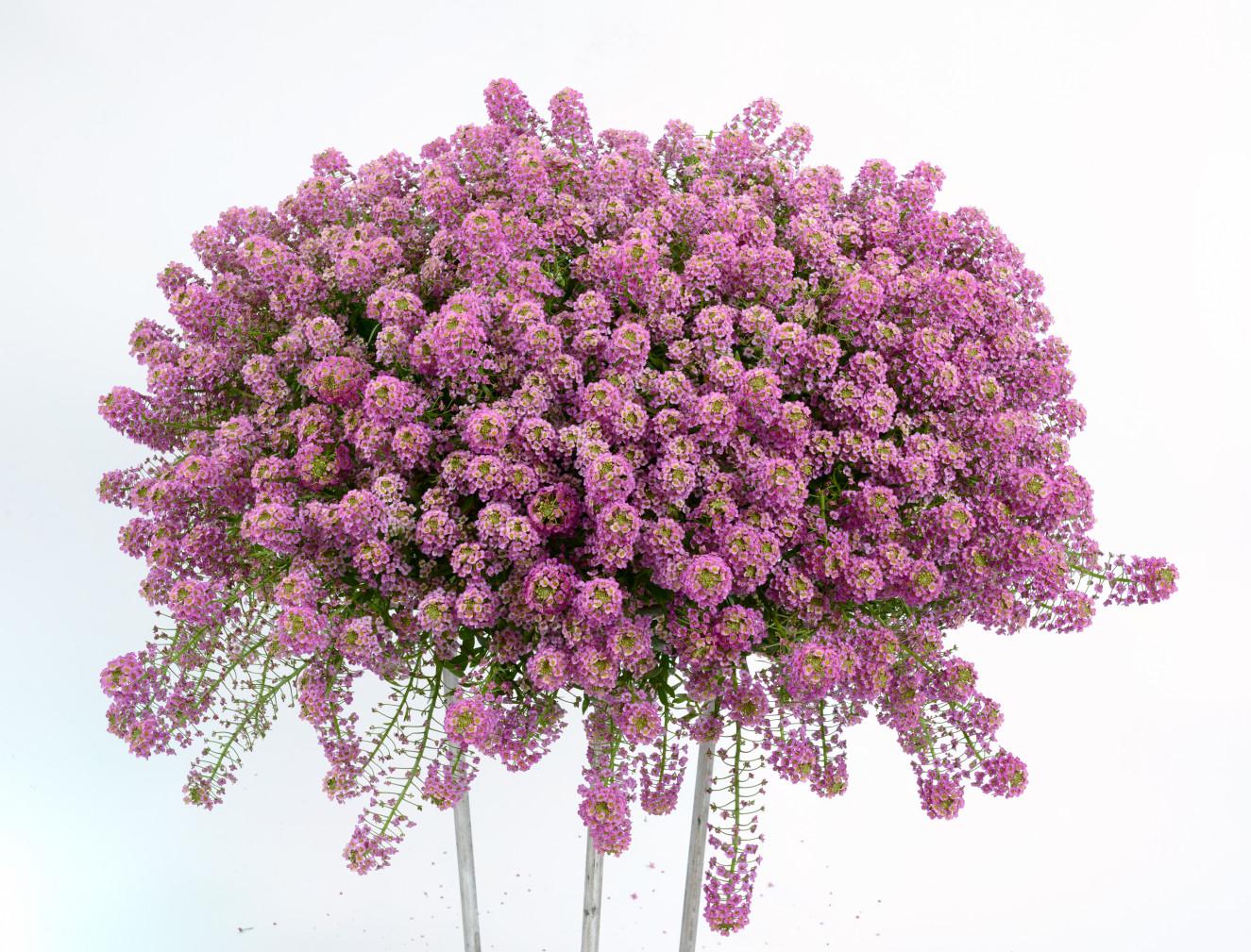 Lobularia Raspberry Stream™ AY 14-669(15-16_AY-14669-79-Edit.jpg