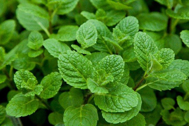 Mentha Suaveolens Apple Mint