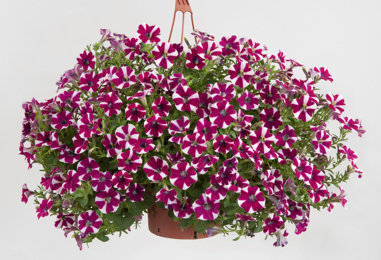 Petunia- Cascadias Bicolor Cabernet