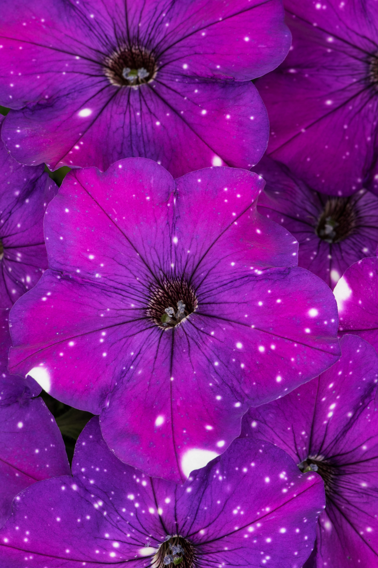 Petunia-Constellation-Aries-001.jpg