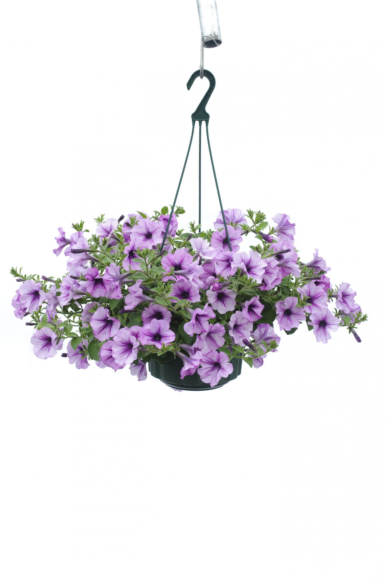 Presto Purple Vein_DSC8992.jpg