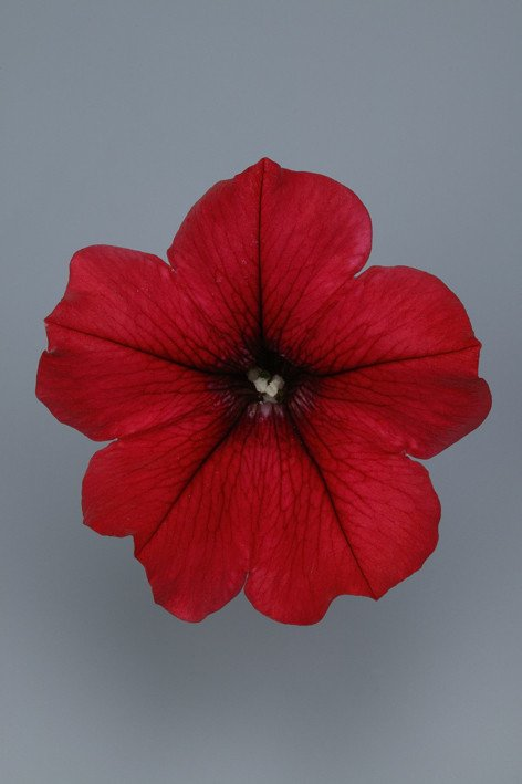SURFINIA Table Dark Red
