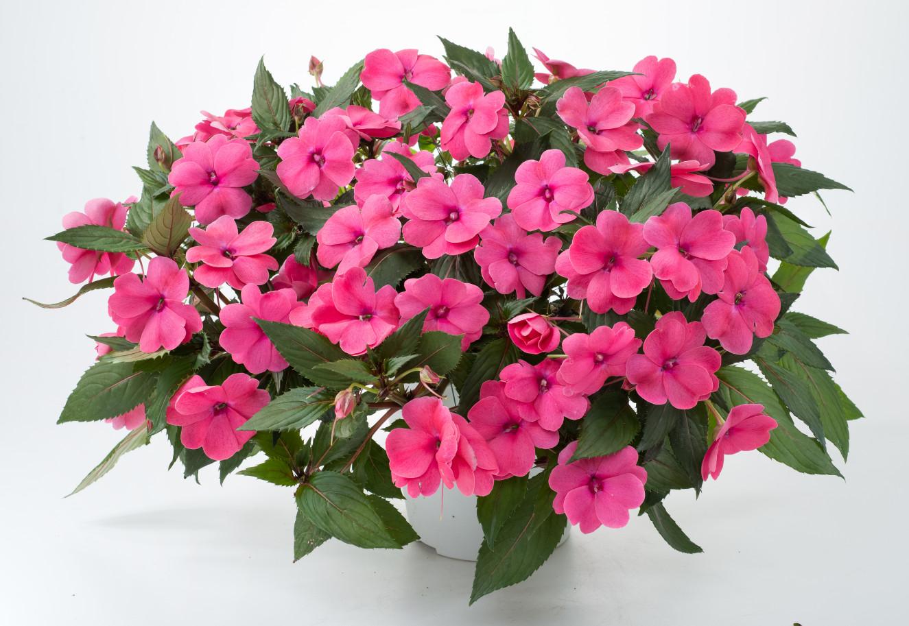Sun Harmony™ Deep Pink- bm-12-169-dan-1342-Edit(14-15)