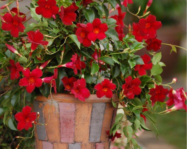 Sundaville® Beauty bright red.jpg