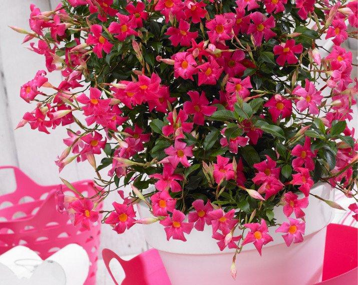 Sundaville® beauty coral pink