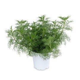 cola-plant-12-low-res
