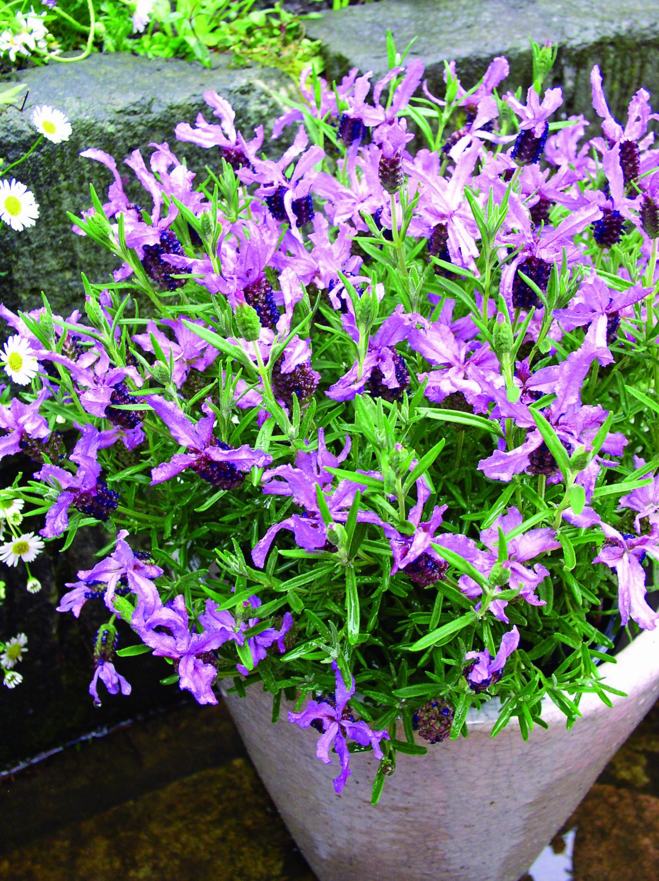lasblue Lavandula-Blueberry Ruffles_Flower