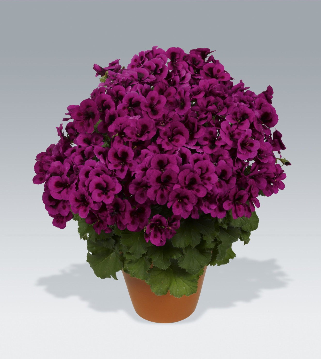 pac Candy Flower Violet