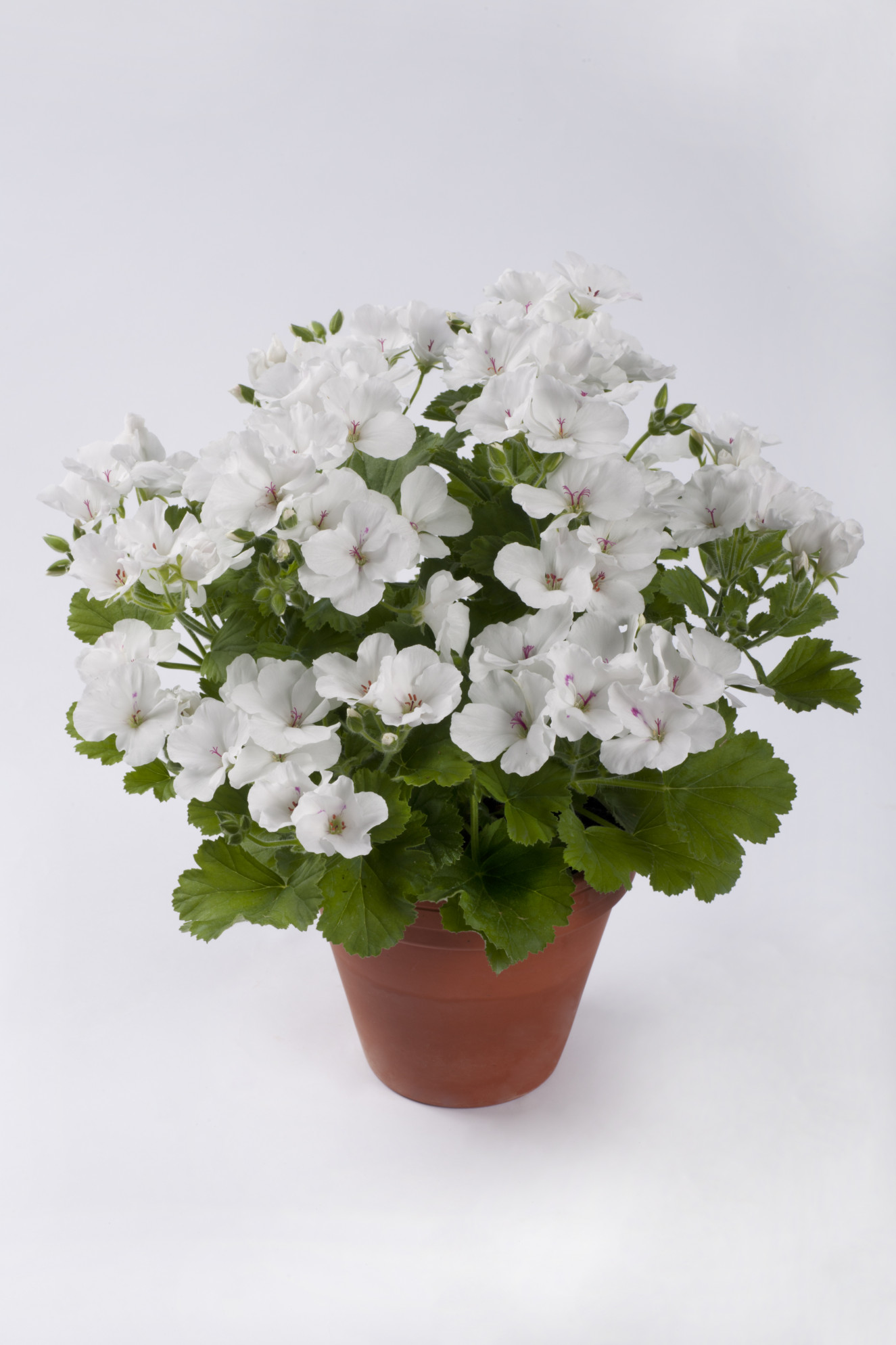 pac Candy Flowers White -.jpg