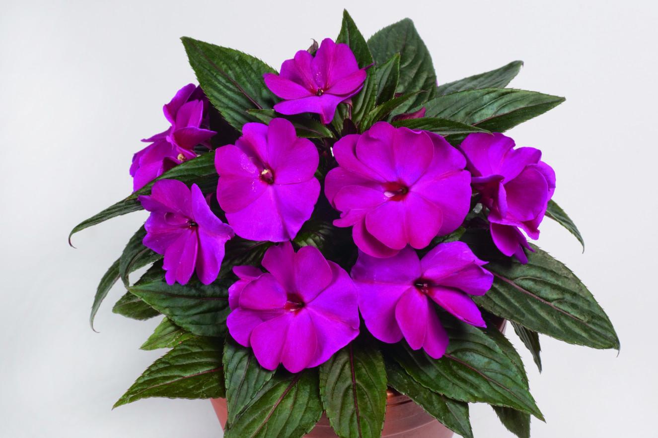 pac Impacio Purple