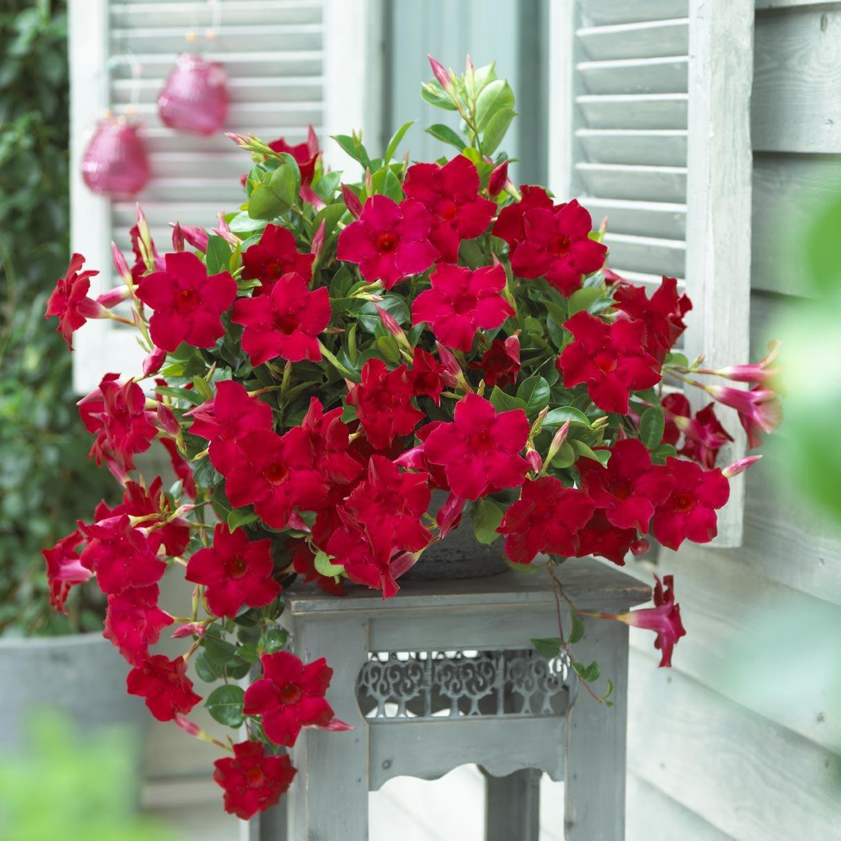 photo_03 Sundaville Velvet red 1784