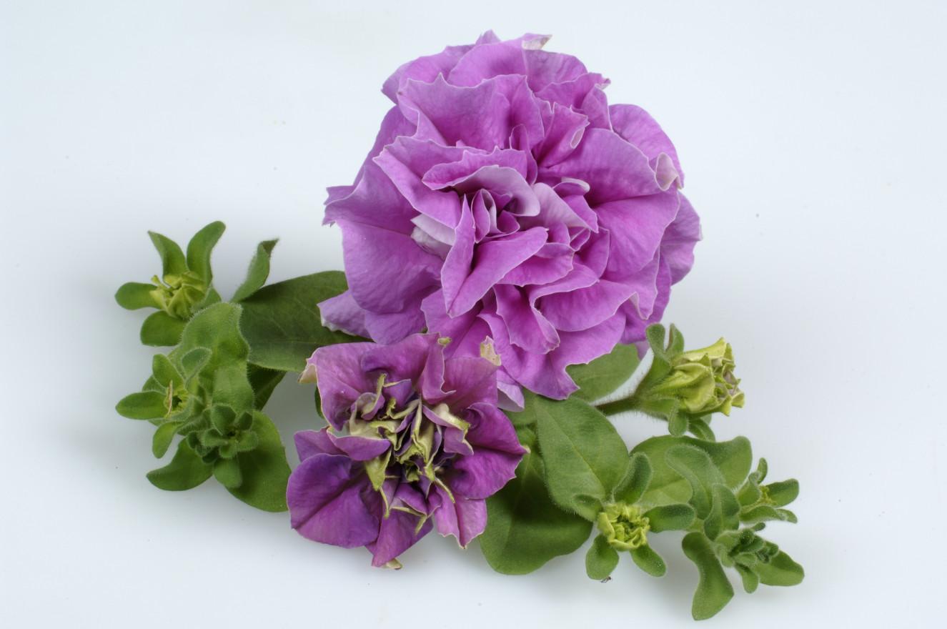 surfinia double Lilac single 2