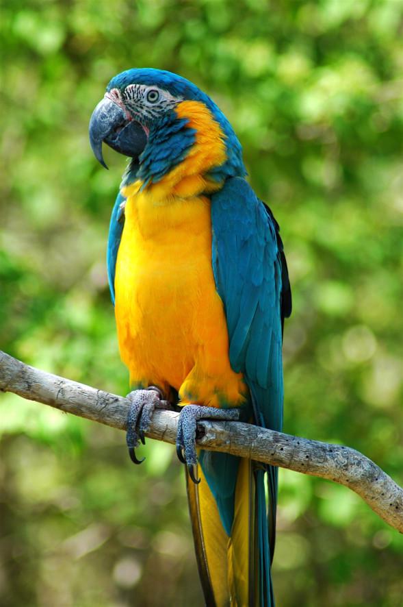 Ara_glaucogularis_-Cincinnati_Zoo-8.jpg