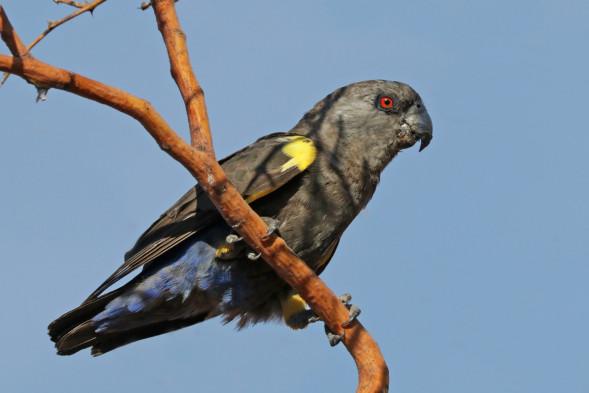 Rüppell's_parrot_(Poicephalus_rueppellii)_female