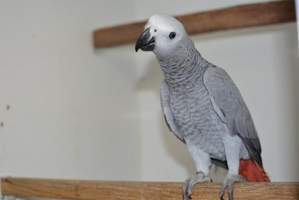 papegaai_grijze roodstaart papegaai2