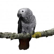 papegaai_grijze roodstaart papegaai3