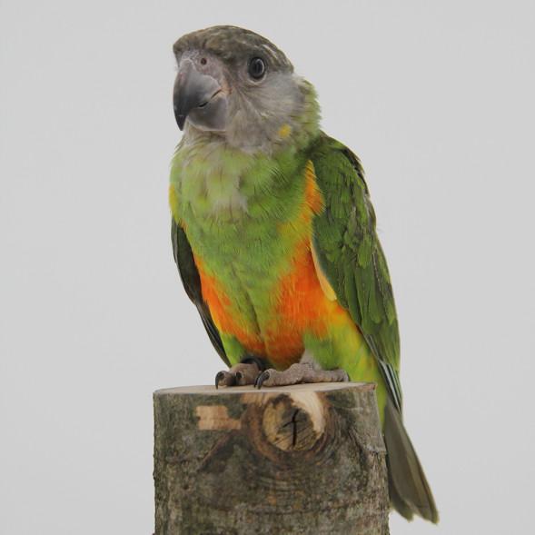 papegaai_senegal papegaai2