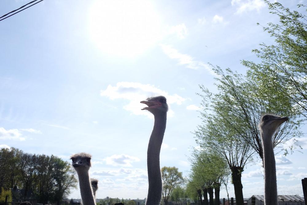 Struisvogelboerderij Schobbejaks Hoogte 5