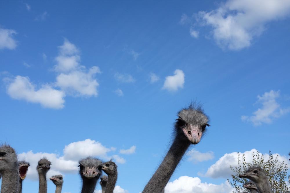 Struisvogelboerderij Schobbejaks Hoogte 7