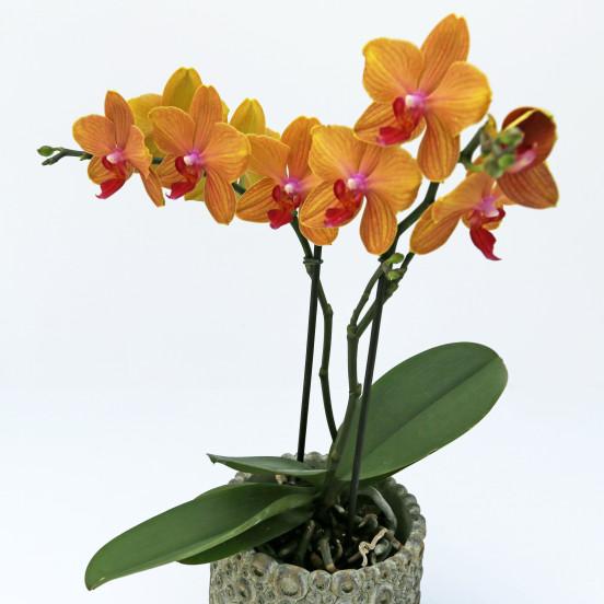 De orchidee